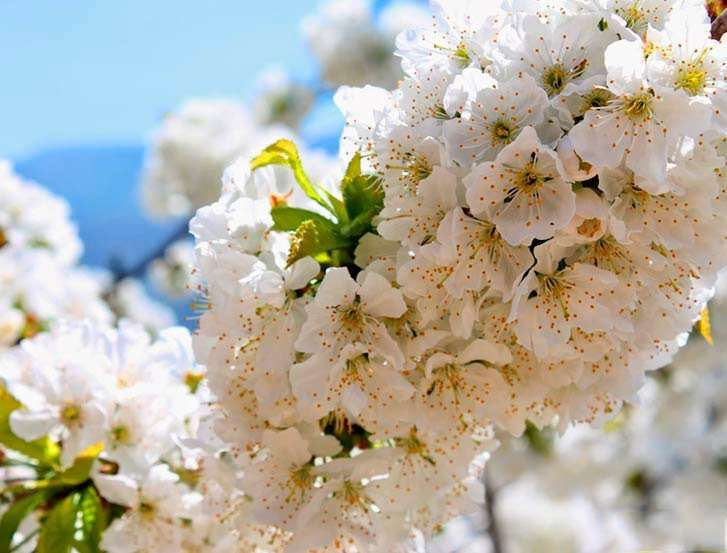 Cerezos en flor Valle de Jerte (Cáceres)
